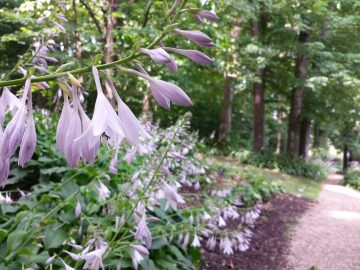 Hosta blooms in the woods