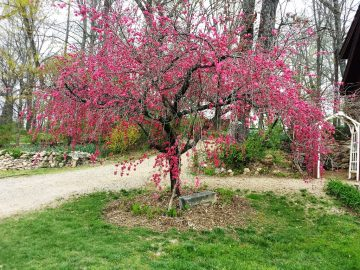 Weeping peach tree by the Secret Garden