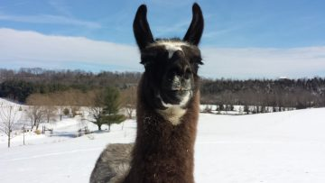 Christian the llama