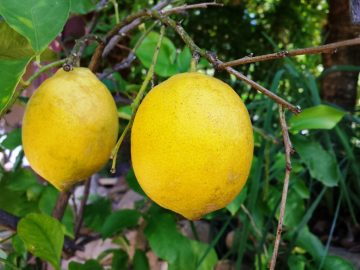 We grow our own lemons